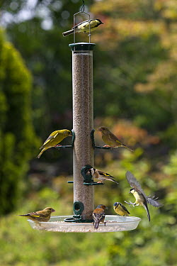 Blue Tit (Cyanistes caeruleus), Great Tit (Parus major), European Greenfinch (Chloris chloris), Chaffinch (Fringilla coelebs), and European Greenfinch (Chloris Chloris) at bird feeder, Europe  -  Stephen Dalton