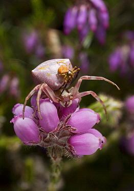 Yellow Crab Spider (Thomisus onustus) male courting female, Surrey, England  -  Stephen Dalton