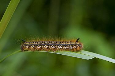 Drinker Moth (Euthrix potatoria) caterpillar, Sussex, England  -  Stephen Dalton