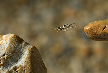 Jumping Spider (Phlegra fasciata) leaping between rocks, Sussex, England  -  Stephen Dalton