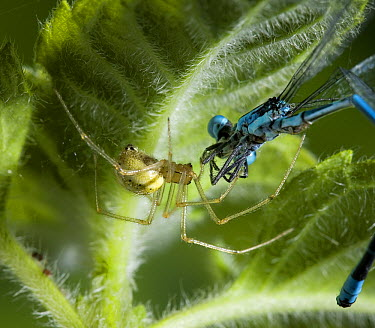 Comb-footed Spider (Enoplognatha ovata) with damselfly prey, Sussex, England  -  Stephen Dalton
