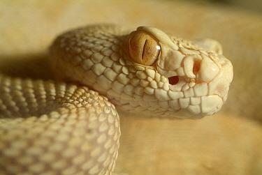 Western Diamondback Rattlesnake (Crotalus atrox) albino, native to North America  -  Albert Lleal