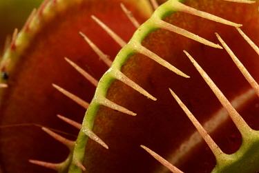 Venus Fly Trap (Dionaea muscipula) leaf detail, native to southeastern United States  -  Albert Lleal