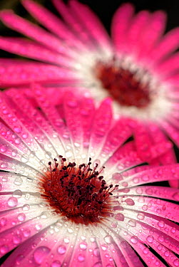 Livingstone Daisy (Dorotheanthus bellidiformis) flowers with dew drops, native to South Africa  -  Albert Lleal