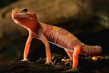 Leopard Gecko (Eublepharis macularis) albino, native to Asia  -  Albert Lleal