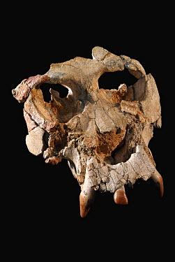Huminid (Pierolapithecus catalaunicus) skull, believed to be the last ancestor common to all modern great apes and humans, from the Miocene Epoch, Spain  -  Albert Lleal