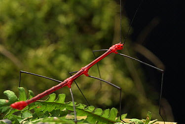 Peruvian Fire Stick (Oreophoetes peruana) male, its bright color warning predators of its toxicity, native to Peru and Ecuador  -  Albert Lleal