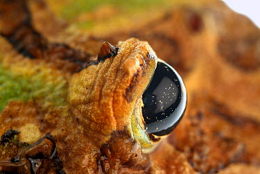 Ornate Horned Frog (Ceratophrys ornata) eye, native to Argentina  -  Albert Lleal