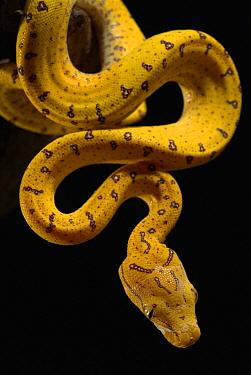 Green Tree Python (Chondropython viridis) juvenile hanging, native to New Guinea, Cape York Peninsula, and Australia  -  Albert Lleal