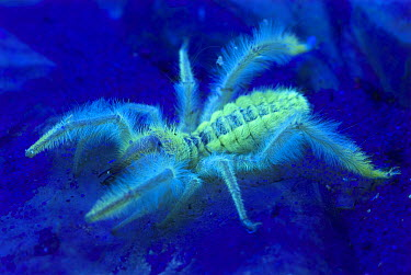 Solifugid (Paragaleodes sp) photographed under ultraviolet light showing fluoresence, native to Africa and Asia  -  Albert Lleal