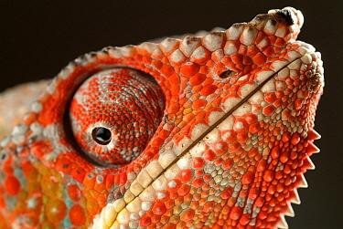 Panther Chameleon (Chamaeleo pardalis) portrait, native to Madagascar  -  Albert Lleal