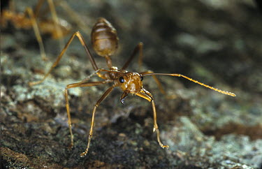 Weaver Ant (Oecophylla sp) in defensive position, Baitabag, Papua New Guinea  -  Albert Lleal