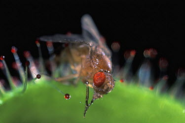 Fruit Fly (Drosophila melanogaster) caught by Cape Sundew (Drosera capensis), native to South Africa  -  Albert Lleal