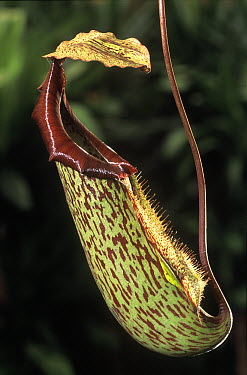 Pitcher Plant (Nepenthes sp) trap used to catch insects, native to southeast Asia  -  Albert Lleal