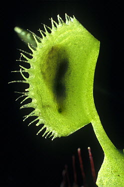 Venus Fly Trap (Dionaea muscipula) with caught insect, native to the southeastern United States  -  Albert Lleal