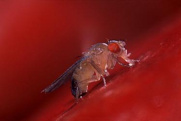 Fruit Fly (Drosophila melanogaster) feeding, Spain  -  Albert Lleal
