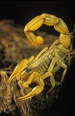 Common European Scorpion (Buthus occitanus) in defensive posture, Tavern Desert, Almeria, Spain  -  Albert Lleal
