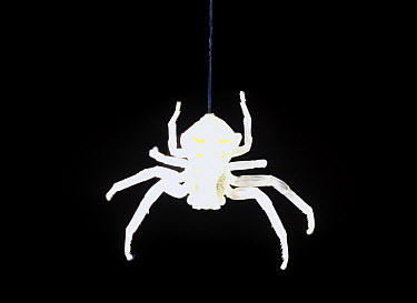 Spider hanging from web silhouetted against black back drop, Barcelona, Spain  -  Albert Lleal
