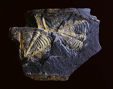 Trilobite (Dalmanites camprodonensis) fossil from the Silurian period, Girona, Spain  -  Albert Lleal