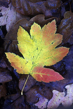 Wild Service Tree (Sorbus torminalis) leaf on forest floor in autumn, Pyrenees, Spain  -  Albert Lleal