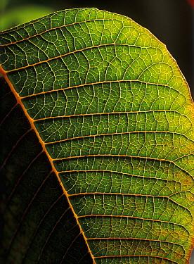 Poinsettia (Euphorbia pulcherrima) leaf detail showing veins, an ornamental species originating in Mexico  -  Albert Lleal