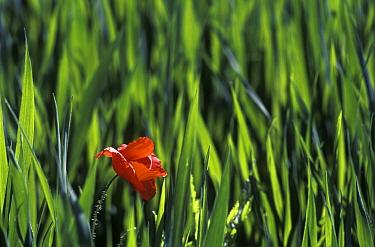 Red Poppy (Papaver rhoeas) in wheat field, Barcelona, Spain  -  Albert Lleal