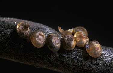 Spanish Moon Moth (Graellsia isabellae) eggs on a branch of a Scotch Pine (Pinus sylvestris), Spain  -  Albert Lleal