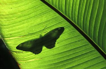 Butterfly shadow on banana leaf, Venezuela  -  Albert Lleal