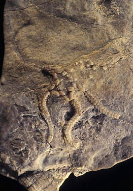 Brittlestar (Stephanouropsis moralejai) fossil of the Triassic period, Spain  -  Albert Lleal