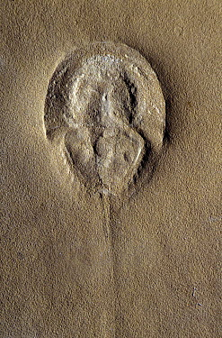 Horseshoe Crab (Tarracolimulus rieki) fossil from the Triassic period, Spain  -  Albert Lleal