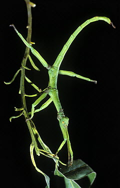 Stick Insect (Diapherodes sp) mimicking branch, Spain  -  Albert Lleal