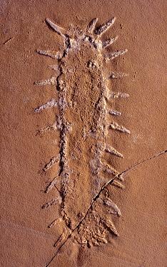 Holothuroidean (Oneirophantites tarraconensis) fossil, 15 cm in length, Spain  -  Albert Lleal