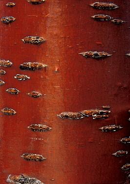 Japanese Cherry (Prunus serrulata) bark, Spain  -  Albert Lleal