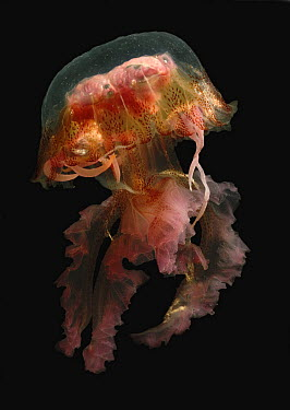 Mauve Stinger (Pelagia noctiluca) jellyfish, native to the Mediterranean  -  Albert Lleal