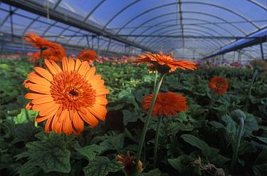 Gerbera Daisy (Gerbera sp) flowers grown hydroponically in a greenhouse near Barcelona, Spain  -  Albert Lleal
