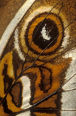 Morpho Butterfly (Morpho sp) butterfly wing with false eyespot, native to South America  -  Albert Lleal