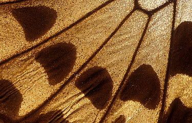 Butterfly wing detail, unidentified species  -  Albert Lleal