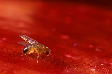 Fruit Fly (Drosophila melanogaster) on ripe fruit, Spain  -  Albert Lleal