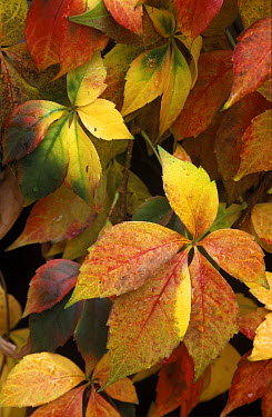 Virginia Creeper (Parthenocissus quinquefolia) leaves in autumn, a native to eastern and central North America  -  Albert Lleal