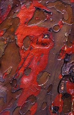 Cypress (Cupressus sp) bark detail, Barcelona, Spain  -  Albert Lleal