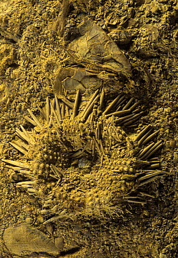 Urchin (Tetragramma dubium) fossil, oral surface, from the Cretaceous period, Spain  -  Albert Lleal