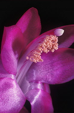 Easter Cactus (Hatiora gaertneri) flower, showing pistil and stamens, native to Brazil  -  Albert Lleal