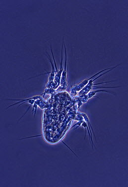 Copepod nauplius larval stage of development at 120x magnification, Spain  -  Albert Lleal