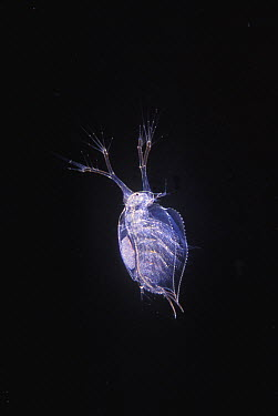 Cladoceran (Penilia avirostris) crustacean, Spain  -  Albert Lleal