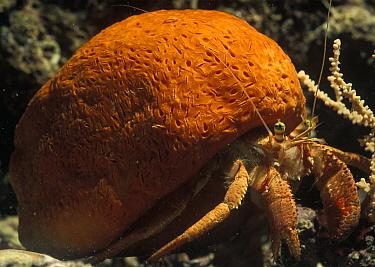 Hermit Crab (Dardanus arrosor) using a Sponge (Suberites domuncula) as its home, Mediterranean Sea, Spain  -  Albert Lleal