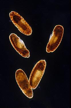 Fruit Fly (Drosophila melanogaster) embryos at 12x magnification, Spain  -  Albert Lleal