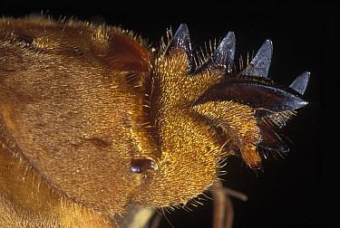 European Mole Cricket (Gryllotalpa gryllotalpa) foot, Spain  -  Albert Lleal