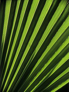 Palm (Washingtonia sp) leaf, Spain  -  Albert Lleal