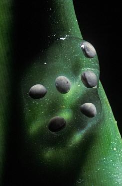 Strawberry Poison Dart Frog (Oophaga pumilio) egg cluster deposited on a plant stem, Panama  -  Albert Lleal