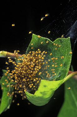 Garden Spider (Araneus diadematus) web with hundreds of babies, Barcelona, Spain  -  Albert Lleal